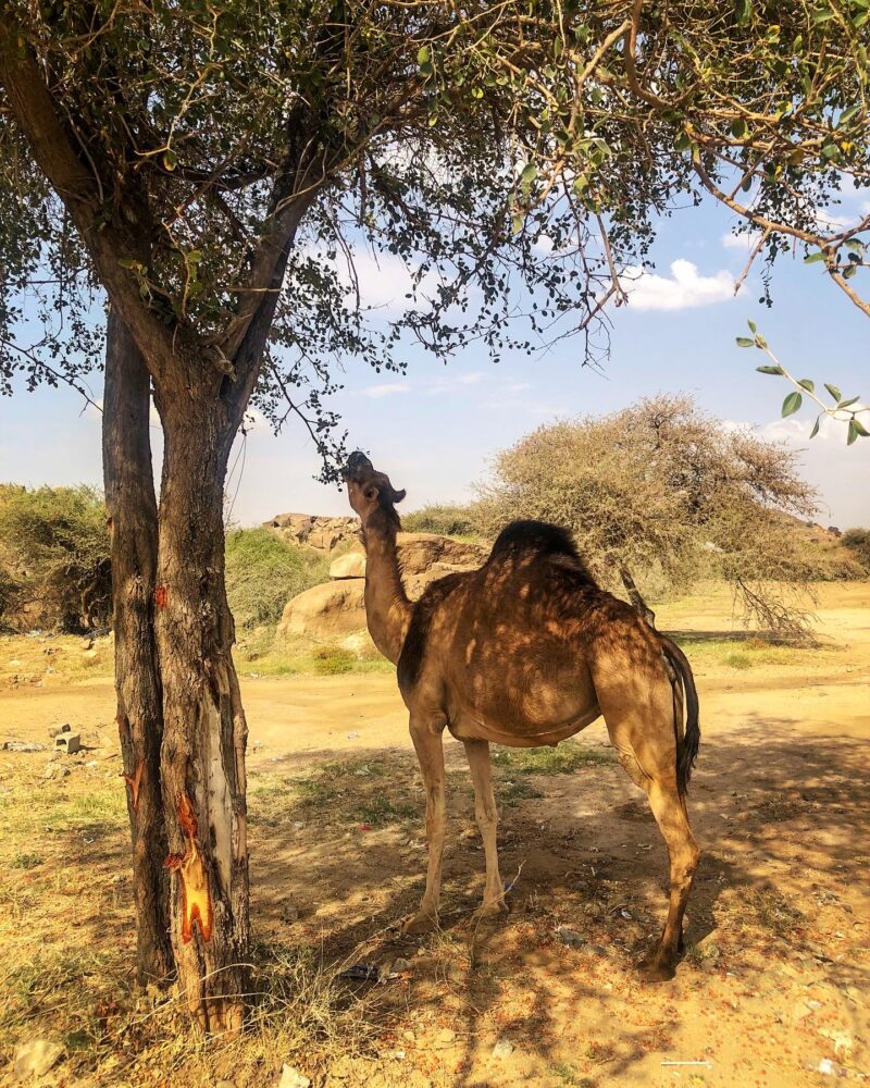 A camel eating from the tree in Saudi Arabia